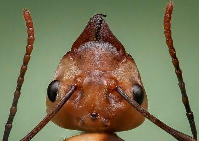 queen-ant-1193472_640